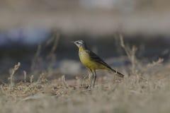 黄色令科之鸟Motacilla flava特写镜头 免版税库存图片