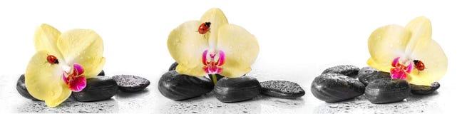 黄色兰花和小卵石与瓢虫 免版税库存图片