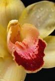 黄色兰花,中心特写镜头  免版税库存图片