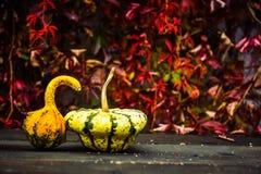 黄色南瓜和红色常春藤 免版税库存照片