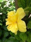 黄色双重木槿,侧视图 库存图片