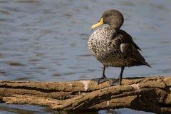 黄色发单了在南非拍摄的鸭子 库存图片