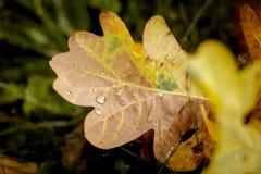 黄色叶子与露水下落的一棵橡木在ground_的 库存图片