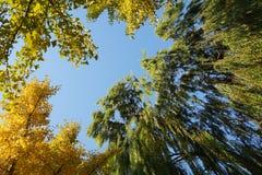 黄色叶子和树在秋天 免版税图库摄影
