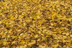 黄色叶子在基奥庭院在冬天/秋天 库存图片