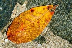 黄色叶子在岩石岸的水中 免版税库存照片