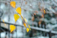 黄色叶子在早期的冬天 库存图片