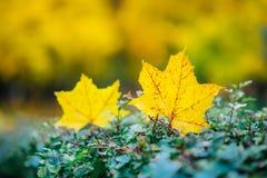黄色叶子在灌木说谎在公园 免版税库存照片