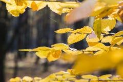 黄色叶子在阳光下在秋天森林里 免版税库存照片