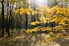 黄色叶子在阳光下在秋天森林里 库存图片