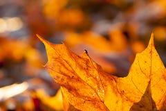 黄色叶子,秋天 免版税库存照片