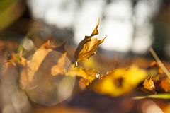 黄色叶子,秋天 库存照片