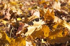 黄色叶子,秋天 免版税图库摄影