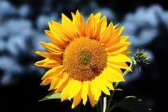 黄色向日葵在庭院里 免版税图库摄影
