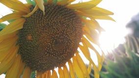 黄色向日葵在阳光下火光特写镜头 影视素材