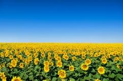 黄色向日葵的领域反对蓝天的 免版税图库摄影
