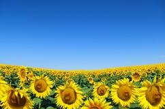 黄色向日葵的领域反对蓝天的 图库摄影
