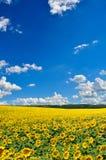 黄色向日葵的领域反对蓝天的 免版税库存照片