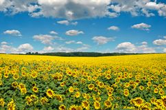 黄色向日葵的领域反对蓝天的 库存照片
