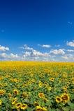 黄色向日葵的领域反对蓝天的 库存图片