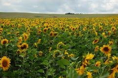 黄色向日葵花被转动对照相机 免版税库存图片