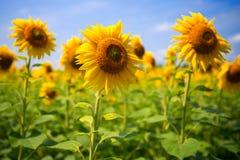 黄色向日葵,反对天空 向日葵的领域在一明亮的好日子 免版税库存图片