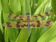 黄色和布朗蜻蜓 免版税库存图片