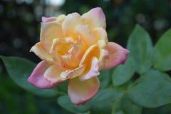 黄色和桃红色罗斯在庭院里 免版税库存照片