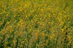 黄色和棕色花,猪屎豆属JUNCEA,阳大麻领域 免版税图库摄影