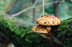 黄色和棕色被察觉的蘑菇 免版税图库摄影