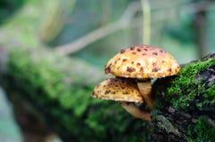 黄色和棕色被察觉的蘑菇 库存照片