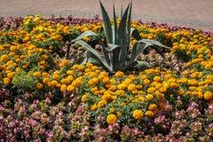 黄色和橙色万寿菊夏天明亮的花床开花Tagetes erecta、墨西哥人、阿兹台克人或者万寿菊与大A 免版税图库摄影