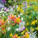 黄色和橙色哥伦拜恩在春天庭院里开花开花 免版税库存图片