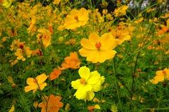 黄色和橙色波斯菊花 免版税图库摄影