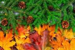 黄色和橙色秋叶把变成绿色冷杉分支与锥体和圣诞节装饰 秋天的变动为冬天 免版税库存照片