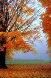 黄色和橙色秋天树在一个有雾的早晨 库存图片