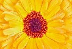 黄色和橙色花的宏观照片 免版税库存照片