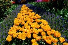 黄色和淡紫色郁金香 免版税库存照片