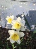 黄色和白色开花的花 免版税图库摄影