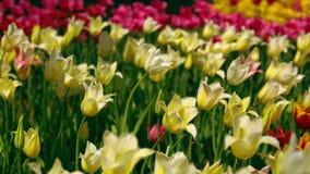 黄色和白色星郁金香开花 股票录像