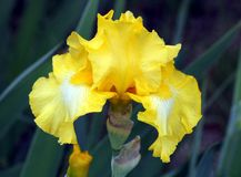黄色和白色有胡子的虹膜画象 免版税库存照片