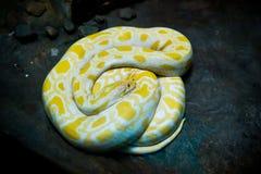 黄色和白蛇白变种,在黑背景的Lutino 免版税库存图片