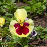 黄色和紫罗兰色中提琴花详述了宏指令,选择聚焦,浅DOF 库存照片