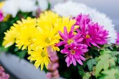 黄色和紫罗兰色大丁草 免版税库存图片