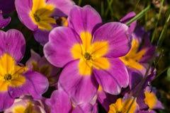 黄色和紫罗兰色花 库存照片