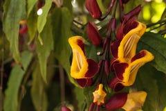 黄色和红色时钟藤Thenbergia mysorensis开花 库存图片