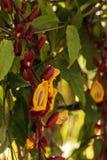 黄色和红色时钟藤Thenbergia mysorensis开花 免版税库存照片