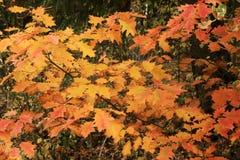黄色和红色秋叶背景 免版税图库摄影