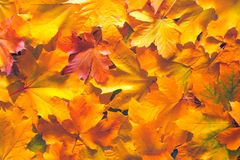 黄色和红色秋天槭树离开背景 库存图片