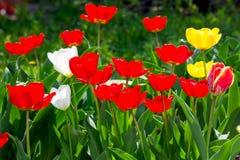 黄色和红色郁金香在庭院里在一好日子 库存照片
